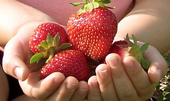 10 fatos incríveis sobre morangos